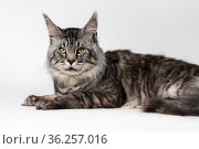 Lovely Maine Coon Cat. Portrait of mackerel tabby American Longhair Cat lying and looking at camera. Стоковое фото, фотограф А. А. Пирагис / Фотобанк Лори