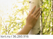 Female hand gently touches the trunk of a birch tree on a sunny natural background. Стоковое фото, фотограф Евгений Харитонов / Фотобанк Лори