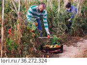 Farm worker in protective mask gathering crop of tomatoes. Стоковое фото, фотограф Яков Филимонов / Фотобанк Лори