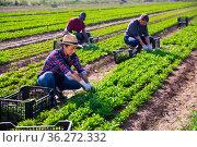 Hispanic woman farmer harvesting garden rocket on plantation. Стоковое фото, фотограф Яков Филимонов / Фотобанк Лори