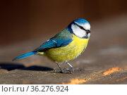 Blaumeise (Cyanistes caeruleus) im Winter im Naturschutzgebiet Mönchbruch... Стоковое фото, фотограф Zoonar.com/Dirk Rueter / easy Fotostock / Фотобанк Лори