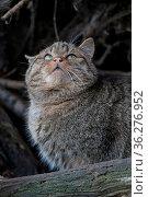 Wildkatze. Стоковое фото, фотограф Zoonar.com/Antje Lindert-Rottke / easy Fotostock / Фотобанк Лори