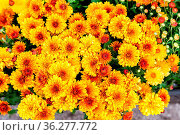 Nature organic background from decorative yellow flowers. Стоковое фото, фотограф Zoonar.com/Alexander Blinov / easy Fotostock / Фотобанк Лори