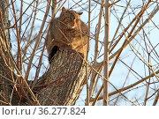 Wildkatze versteckt auf einem Baum. Стоковое фото, фотограф Zoonar.com/Antje Lindert-Rottke / easy Fotostock / Фотобанк Лори