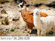 Zwei Guanakos mit langem Fell, Ekuador. Стоковое фото, фотограф Zoonar.com/Simone Buehring / easy Fotostock / Фотобанк Лори