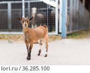 little goat walking on the farm. Стоковое фото, фотограф Татьяна Яцевич / Фотобанк Лори