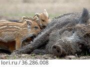 Wildschwein (Sus scrofa), Schwarzwild, Weibchen, Bache säugt Frischling... Стоковое фото, фотограф Zoonar.com/Stefan Ernst / age Fotostock / Фотобанк Лори