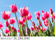 Colorful pink tulips fields during springtime in the Netherlands. Стоковое фото, фотограф Zoonar.com/Hilda Weges / easy Fotostock / Фотобанк Лори