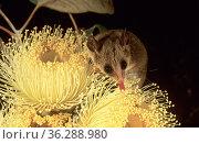 Western Pygmy-possum (Cercartetus concinnus) feeding on pollen of Large-fruited Mallee (Eucalyptus youngiana), Great Victoria Desert, Australia. Стоковое фото, фотограф Jiri Lochman / Nature Picture Library / Фотобанк Лори