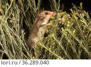 Western Pygmy-possum (Cercartetus concinnus) hunting for insects among foliage, Great Victoria Desert, Australia. Стоковое фото, фотограф Jiri Lochman / Nature Picture Library / Фотобанк Лори