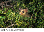 Mountain pygmy-possum (Burramys parvus), Kosciuszko National Park, Australia. Critically endangered species. Стоковое фото, фотограф Jiri Lochman / Nature Picture Library / Фотобанк Лори