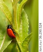Красный жук сидит на траве. Стоковое фото, фотограф Игорь Низов / Фотобанк Лори