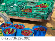 Boxes with harvested cherry stacked in garden. Стоковое фото, фотограф Яков Филимонов / Фотобанк Лори