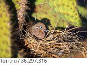 Galapagos dove (Zenaida galapagoensis), nesting in disused mockingbird nest in Opuntia cactus, Seymour Island, Galapagos Islands. Стоковое фото, фотограф Tui De Roy / Nature Picture Library / Фотобанк Лори