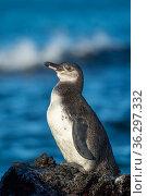 Galapagos penguin (Spheniscus mendiculus), juvenile plumage, Isabela Island, Galapagos Islands. Стоковое фото, фотограф Tui De Roy / Nature Picture Library / Фотобанк Лори