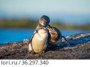 Galapagos penguin (Spheniscus mendiculus), pair courting, Isabela Island, Galapagos Islands. Стоковое фото, фотограф Tui De Roy / Nature Picture Library / Фотобанк Лори
