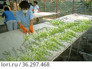 Women preparing orchid blooms for shipping from a commercial orchid nursery in Thailand, November. Стоковое фото, фотограф Nigel Cattlin / Nature Picture Library / Фотобанк Лори