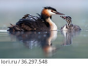 Great crested grebe (Podiceps cristatus) parent bird with young on its back and one chick on the water, portrait in the first morning light Valkenhorst... Стоковое фото, фотограф David Pattyn / Nature Picture Library / Фотобанк Лори