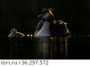 Great crested grebe (Podiceps cristatus) adult with young chick next to it in backlight early in the morning. Valkenhorst Nature Reserve, Valkenswaard, The Netherlands May. Стоковое фото, фотограф David Pattyn / Nature Picture Library / Фотобанк Лори