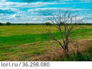 Rural landscape, dead tree at the edge of a mown meadow. Стоковое фото, фотограф Евгений Харитонов / Фотобанк Лори