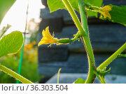 Крошечные натуральные огурчики на кусте начинают свой рост на ферме. Стоковое фото, фотограф Sergei Gorin / Фотобанк Лори