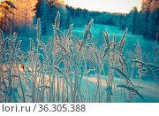 Winter scene.Frozenned flower.pine forest and sunset. Стоковое фото, фотограф Zoonar.com/MYCHKO / easy Fotostock / Фотобанк Лори