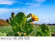 Flowering prickly pear against the blue sky against the blue sky and... Стоковое фото, фотограф Zoonar.com/Maximilian Buzun / easy Fotostock / Фотобанк Лори