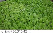 Seedlings of green salad growing in hothouse. Стоковое видео, видеограф Яков Филимонов / Фотобанк Лори