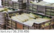 boxes full of cucumbers inside orcahrd. Стоковое видео, видеограф Яков Филимонов / Фотобанк Лори