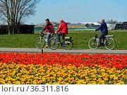 Radfahren fahren vorbei an einem Feld mit blühenden Tulpen in der... Стоковое фото, фотограф Zoonar.com/Georg / age Fotostock / Фотобанк Лори