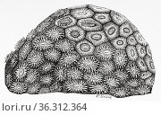 Astraea pallida. Dana. Old 19th century engraved illustration from... Редакционное фото, фотограф Jerónimo Alba / age Fotostock / Фотобанк Лори