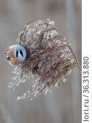 Bearded tit - panurus biarmicus. Стоковое фото, фотограф Zoonar.com/Hendrik Fuchs / easy Fotostock / Фотобанк Лори
