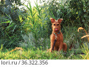 Gorgeous beautiful purebred young funny obedient hunting dog puppy Irish Terrier breed sits on the nature outdoors in summer on the grass. Стоковое фото, фотограф Светлана Евграфова / Фотобанк Лори