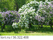 Lilac shrubs in garden on sunny day. Стоковое фото, фотограф Короленко Елена / Фотобанк Лори