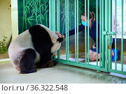 Giant panda female Huan Huan (Ailuropoda melanoleuca) three days before giving birth, with Delphine Delord, Communication and Marketing Manager. Beauval... Редакционное фото, фотограф Eric Baccega / Nature Picture Library / Фотобанк Лори