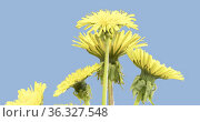 Time lapse of dandelion opening close up view. Macro shoot of flowers group blooming. Slow motion rotation. Isolated chroma key on black. Стоковое видео, видеограф Александр Маркин / Фотобанк Лори
