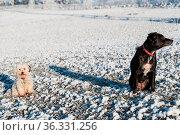 Desinteresse von schwarzem und weissem Hund beim Auslauf - Sicherheitsabstand... Стоковое фото, фотограф Zoonar.com/Alfred Hofer / easy Fotostock / Фотобанк Лори