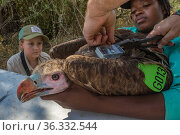 Biologist prepares to attach a solar-powered GPS transmitter between the shoulders of a young White-headed vulture (Trigonoceps occipitalis), using Teflon... Стоковое фото, фотограф Jen Guyton / Nature Picture Library / Фотобанк Лори
