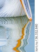 Dalmatian pelican (Pelicanus crispus) close up of beak tip reflected in water, Lake Kerkini, Greece. Стоковое фото, фотограф Edwin Giesbers / Nature Picture Library / Фотобанк Лори