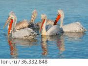 Dalmatian pelicans (Pelicanus crispus) flock on water, Lake Kerkini, Greece. Стоковое фото, фотограф Edwin Giesbers / Nature Picture Library / Фотобанк Лори