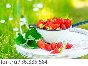 Erdbeeren frsich nach der Ernte, in einem Sieb liegend. Das Sieb steht... Стоковое фото, фотограф Zoonar.com/Kai Schirmer / easy Fotostock / Фотобанк Лори