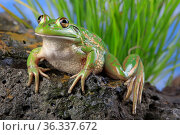 Growling grass frog (Litoria raniformis) female from a farm dam at Donnybrook, Victoria, Austalia, summer, controlled. Стоковое фото, фотограф Robert Valentic / Nature Picture Library / Фотобанк Лори