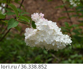 Hydrangea paniculata Vanilla Fraise in summer. Стоковое фото, фотограф Валерия Попова / Фотобанк Лори