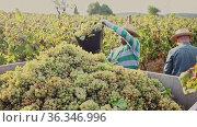 Portrait of successful winegrower carrying bucket full of ripe white grapes in sunny vineyard. Harvest time. Стоковое видео, видеограф Яков Филимонов / Фотобанк Лори
