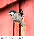 A Black-capped Chickadee brings insects back to hungry chicks. Стоковое фото, фотограф Zoonar.com/Christopher Boswell / easy Fotostock / Фотобанк Лори