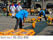 Setzer in schwarzer Hose und blauem Hemd rollen Käseräder zu Tragbahren... Стоковое фото, фотограф Zoonar.com/Pant / age Fotostock / Фотобанк Лори