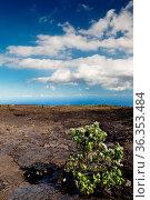 Ein grüner Busch wächst auf einem erkalteten Lavastrom im Hawaii Volcanoes... Стоковое фото, фотограф Zoonar.com/Dirk Rueter / easy Fotostock / Фотобанк Лори