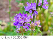 Borstige Glockenblume, Campanula cervicaria - bristly bellflower,... Стоковое фото, фотограф Zoonar.com/Liane Matrisch / easy Fotostock / Фотобанк Лори