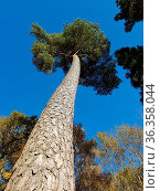 Kiefer, Pinus, Pine, Nadelbaum. Стоковое фото, фотограф Zoonar.com/Manfred Ruckszio / easy Fotostock / Фотобанк Лори