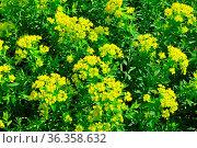 Sumpf-Wolfsmilch (Euphorbia palustris) - Marsh spurge (Euphorbia palustris... Стоковое фото, фотограф Zoonar.com/Robert Biedermann / easy Fotostock / Фотобанк Лори
